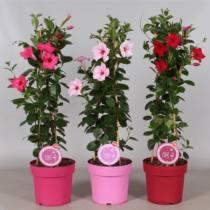 virágzó szobanövények